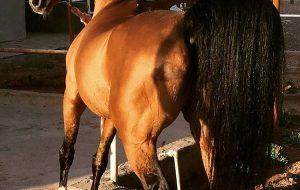 اسب فارس، برندی که فراموش شده است