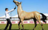 نتایج جشنواره زیبایی اسب ترکمن تهران