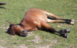 آیا اسب ها ایستاده نیز می خوابند؟